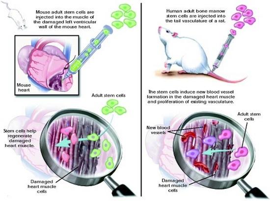 La importancia de las células madre adultas